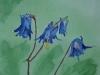 Akelei in aquarel